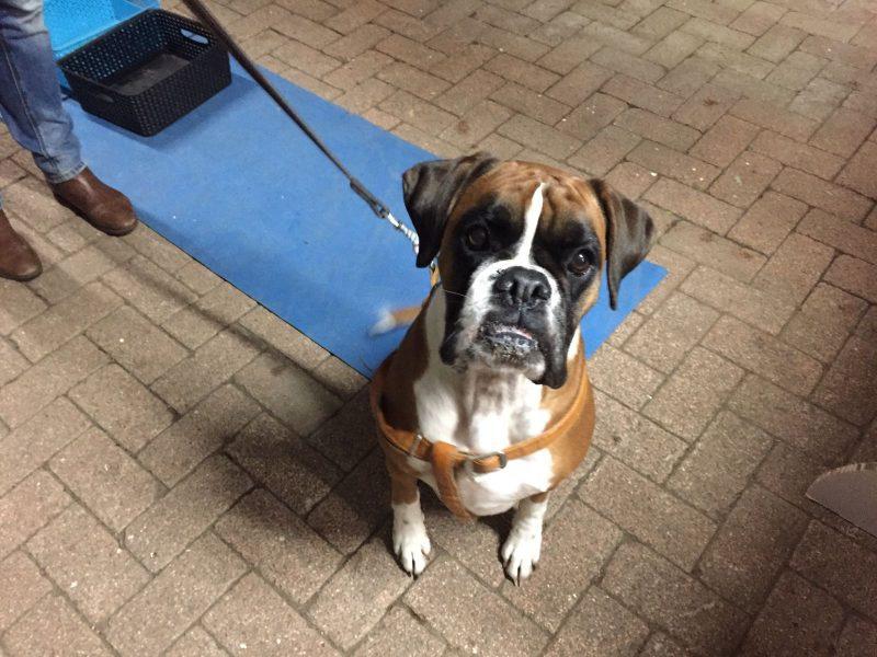 Hondentraining boxer bij wereldhond